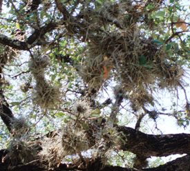 Tillandsia recurvata (ballmoss)